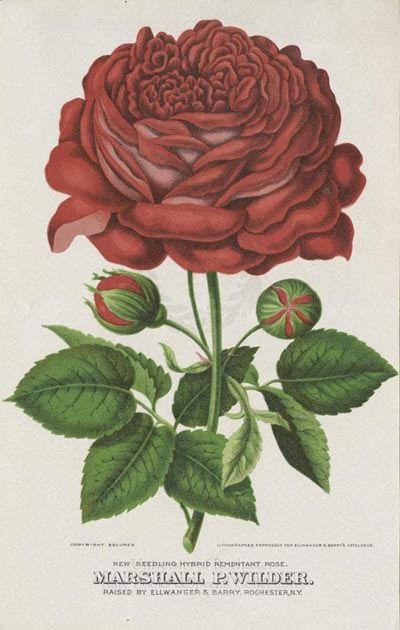 Ellwanger and Barry Horticultural Prints: Results   RBSCP