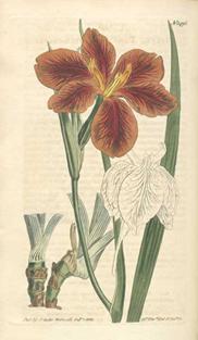 Iris fulva, from Curtis' Botanical Magazine (1812)